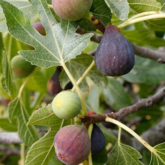 Fig, Celeste 5