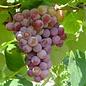 Grape, Vanessa Red 2