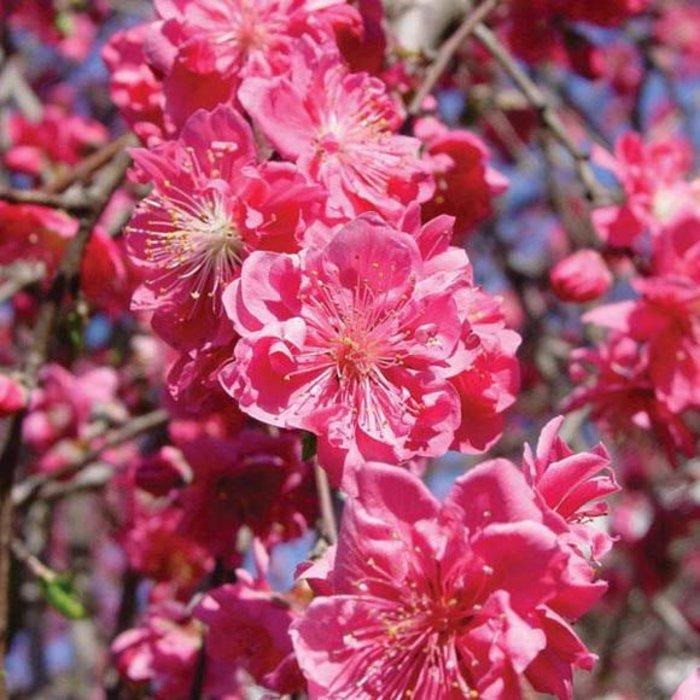 Weeping Peach, Pink Cascade 5