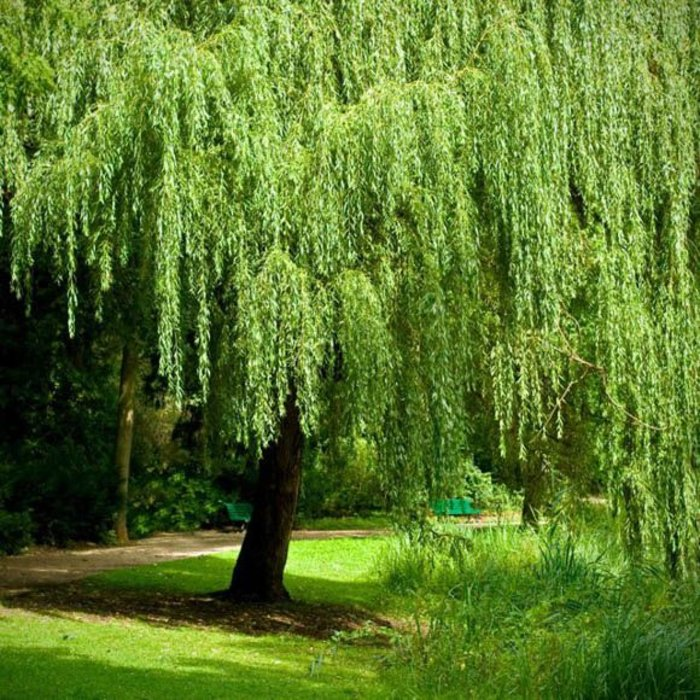 Salix b 'Weeping Willow' 5