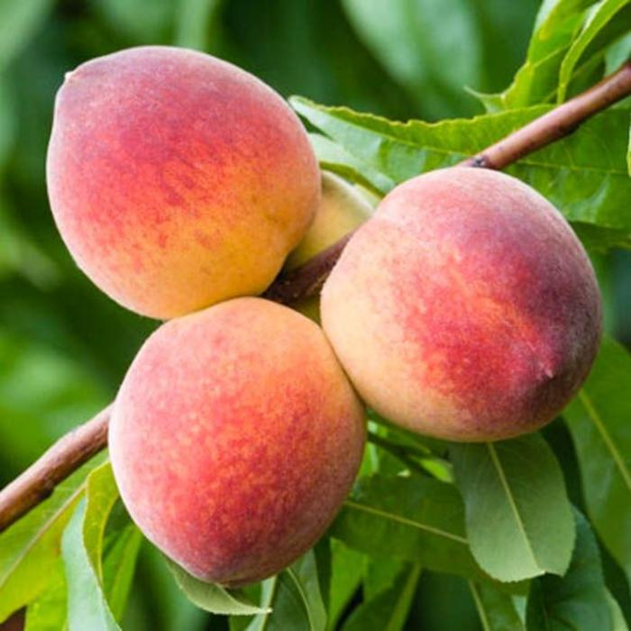 White Peach, Belle of Georgia 5