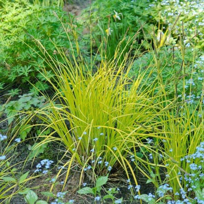 Carex Aurea 1