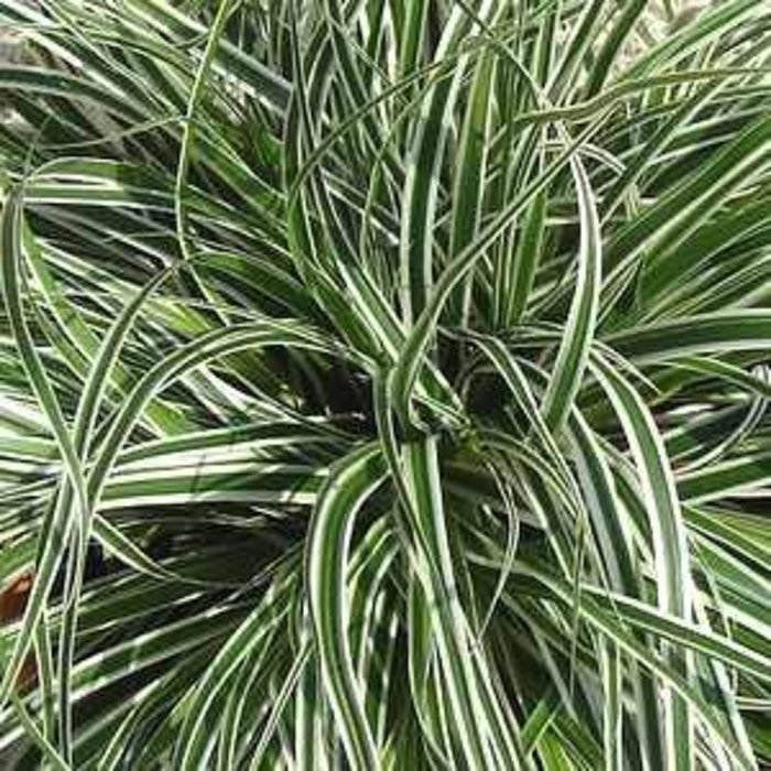 Carex Everest 1