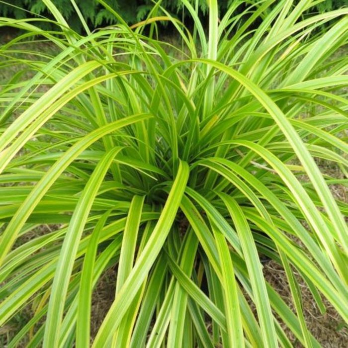 Carex Everlime Qt