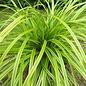 Carex Everlime Qt