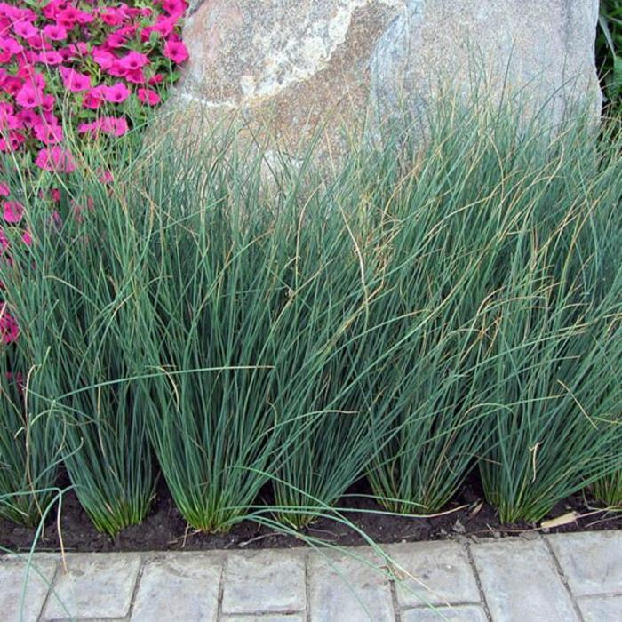 Juncus Blue Arrow 1