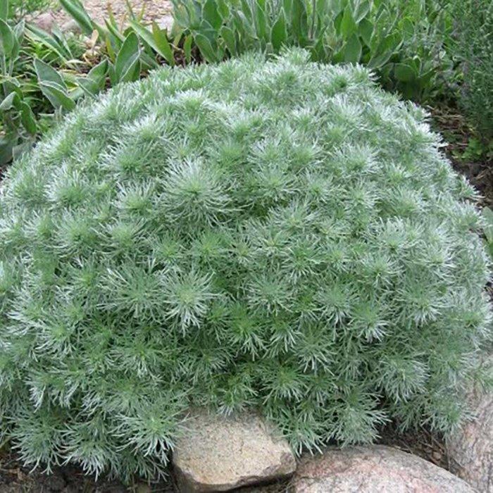 Artemisia Silver Mound 1