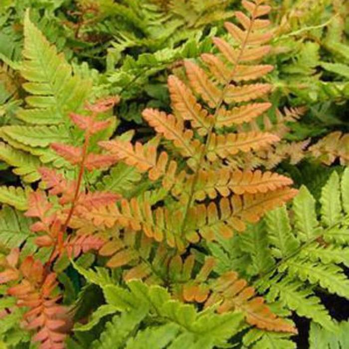 Dryopteris Autumn Fern 1