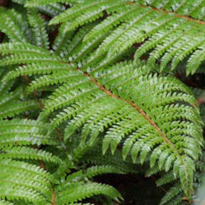 Polystichum Tassel Fern 1