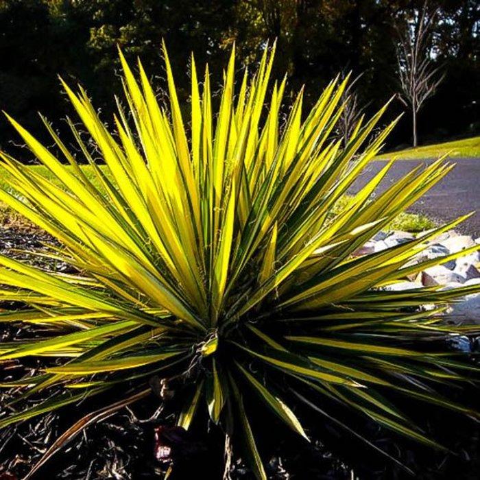Yucca Color Guard 600