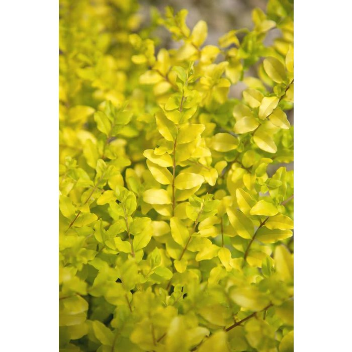 Ligustrum Sunshine 3