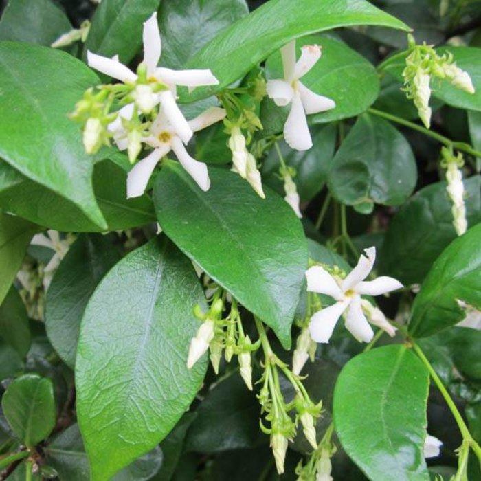Trachelospermum Confederate Jasmine 3