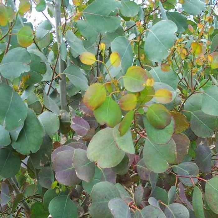 Eucalyptus Silver Dollar 1