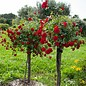 Rose Drift Red Patio Tree 3