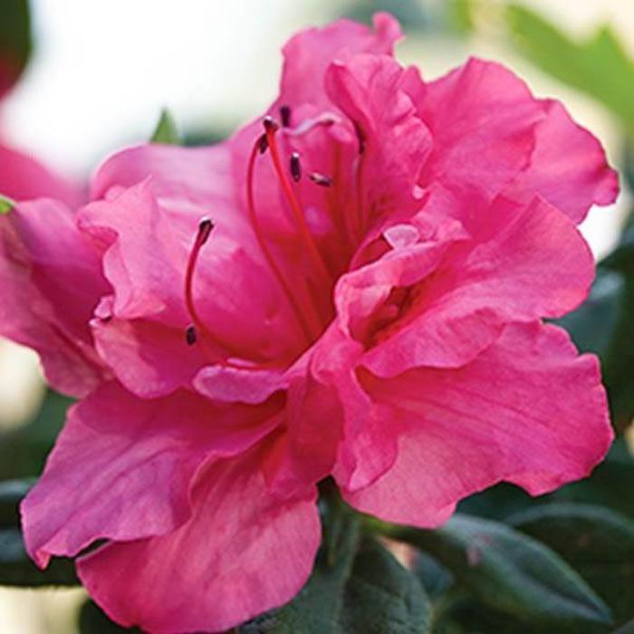 Azalea 'Autumn Rouge' 3