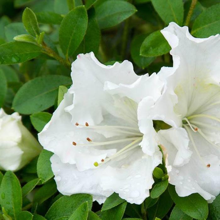 Azalea Gumpo White 2