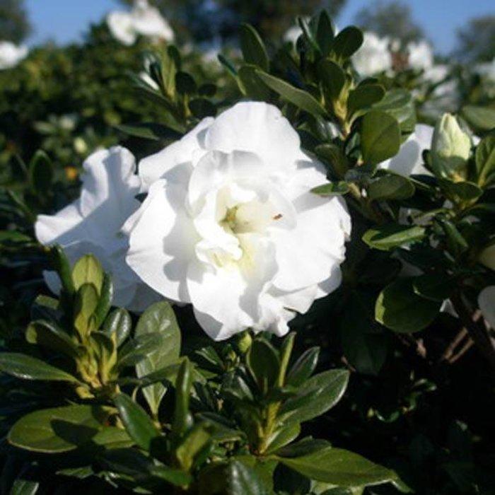 Azalea Hardy Gardenia 3