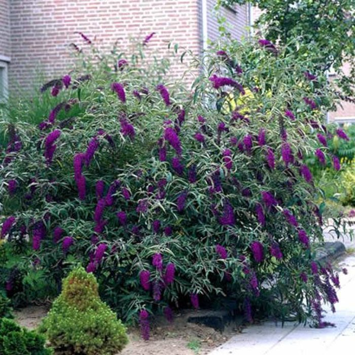 Buddleia Black Knight 3