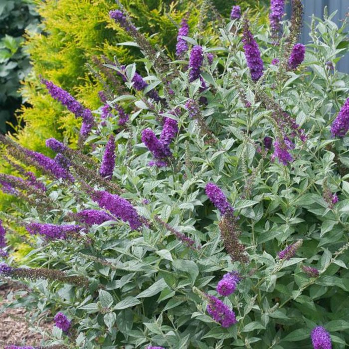 Buddleia Miss Violet 3