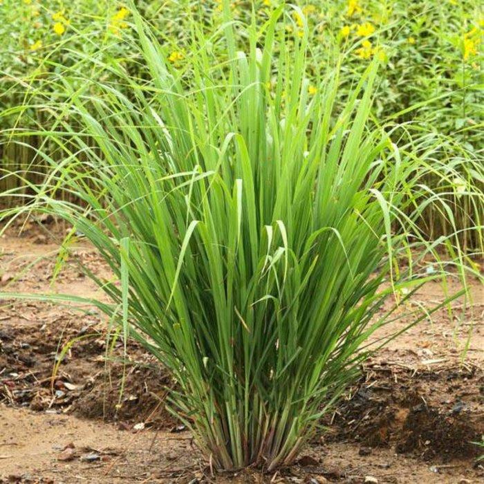 Lemon Grass Qt