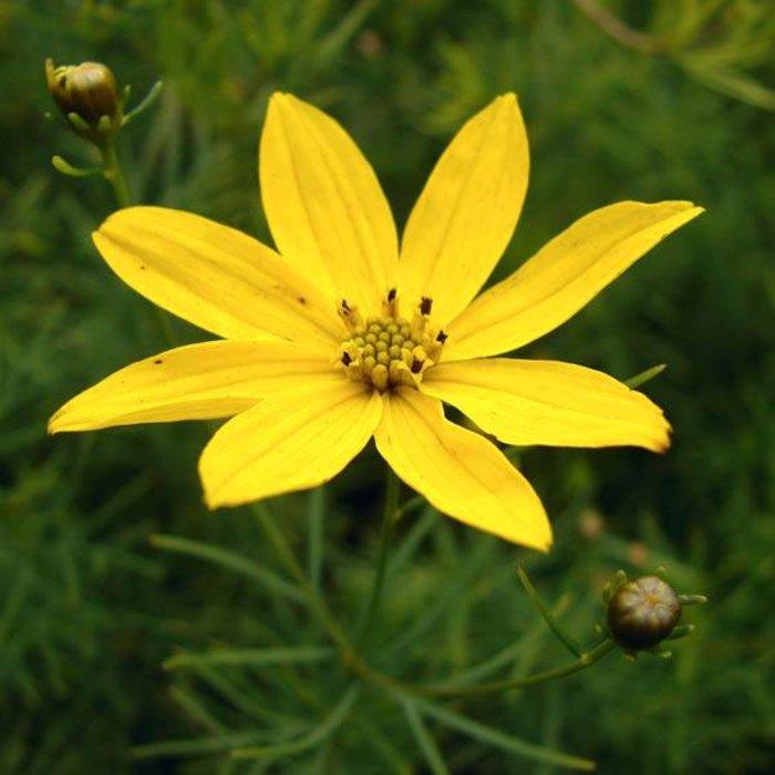 Coreopsis Sylvester 1