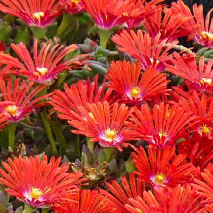 Delosperma Red Mountain 1