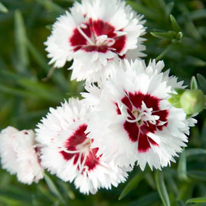 Dianthus Coconut Surprise 1