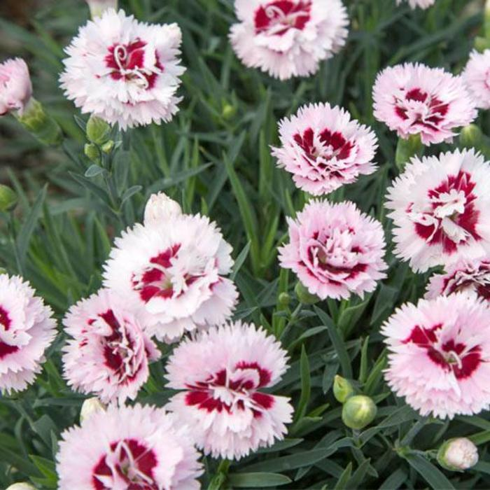 Dianthus Raspberry Surprise 1