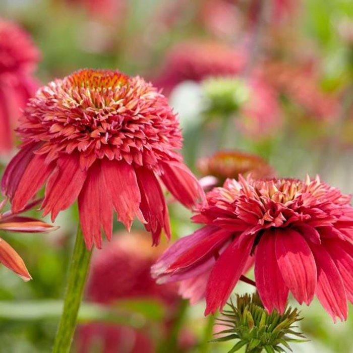 Echinacea DS Orangeberry 1