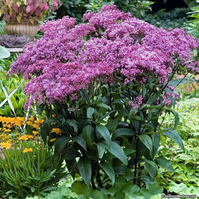 Eupatorium Baby Joe 1