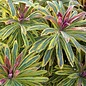 Euphorbia Ascot Rainbow 1