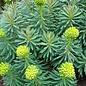 Euphorbia Shorty 1