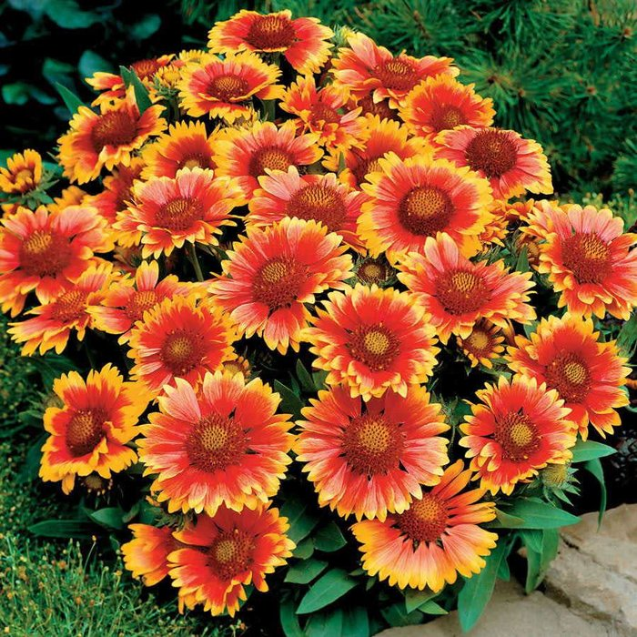 Gaillardia Arizona Sun 1