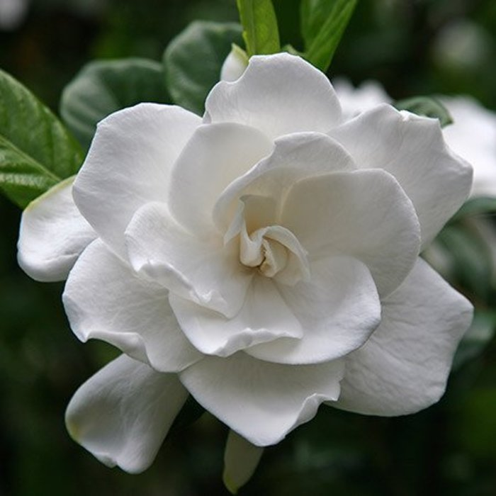Gardenia August Beauty 3