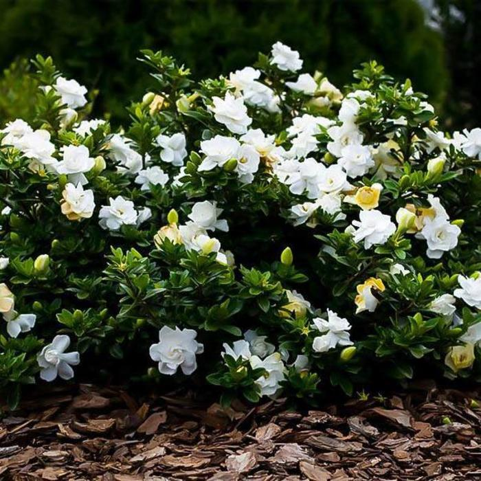 Gardenia Radicans 3