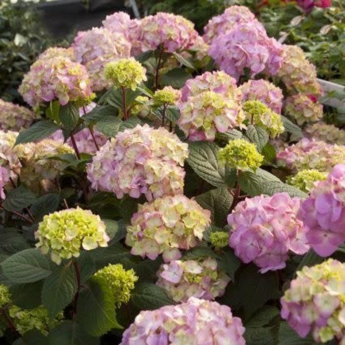 Hydrangea ES Bloomstruck 1