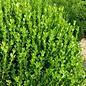 Buxus Wintergreen 3