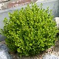 Buxus Golden Dream 1
