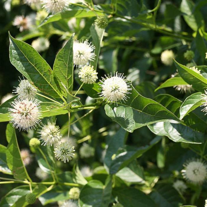 Cephalanthus Occidentals Button Bush 3