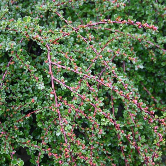 Cotoneaster apiculatus 'Tom Thumb' 1