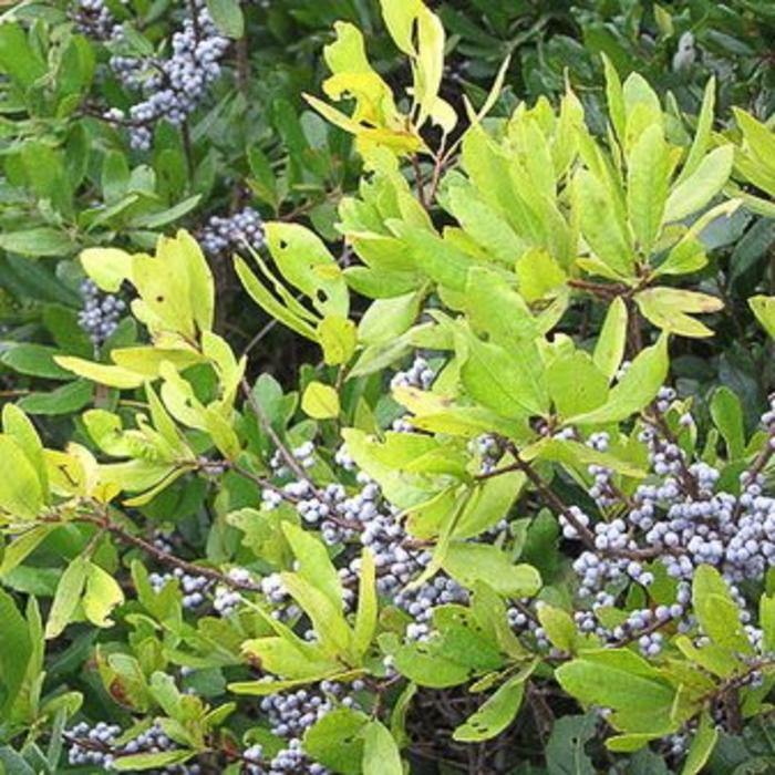 Myrica pensylvanica Northern Bayberry 3