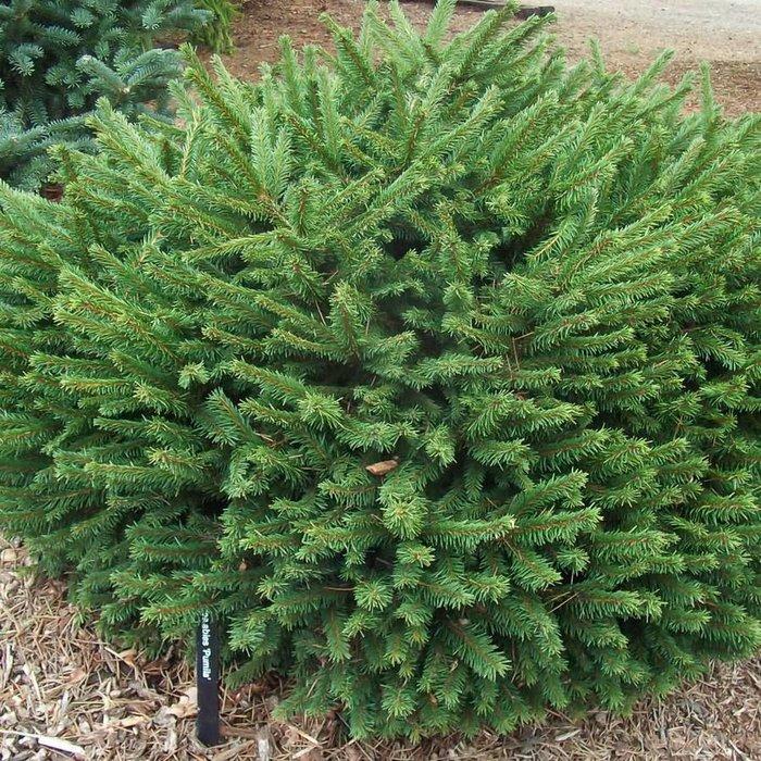 Picea a Pumila 3
