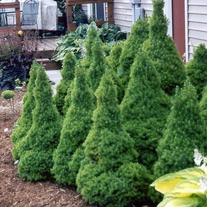 Picea g Conica Dwarf Alberta Spruce 1