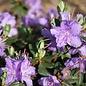 Rhododendron 'Impeditum' 2