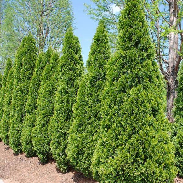 Thuja Emerald Green 1