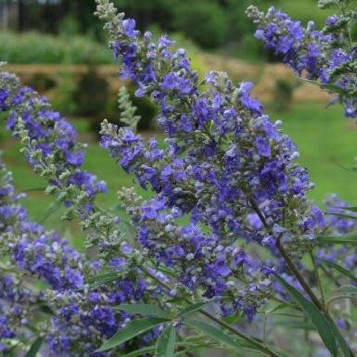 Vitex Delta Blues 3