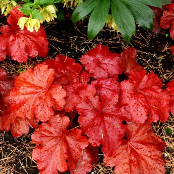 Heuchera FIre Alarm 1