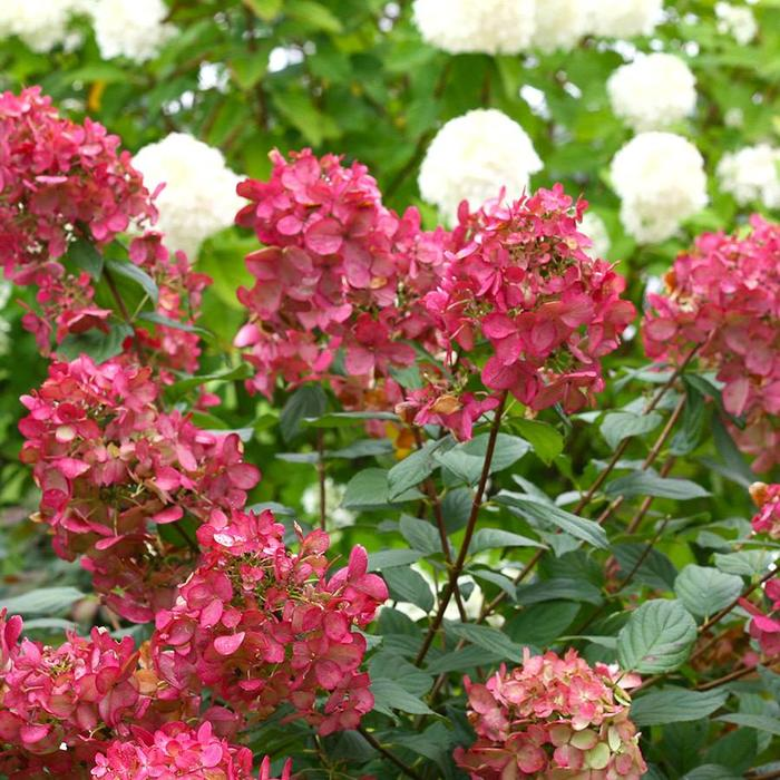 Hydrangea p. Fire Light 3