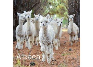 Alpaca/Camel/Llama