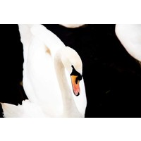 Facemount Acrylic - White Swan 1/4 Inch Thick Acrylic Glass